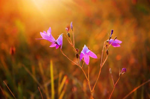 Blume badet im Licht der goldenen Stunde