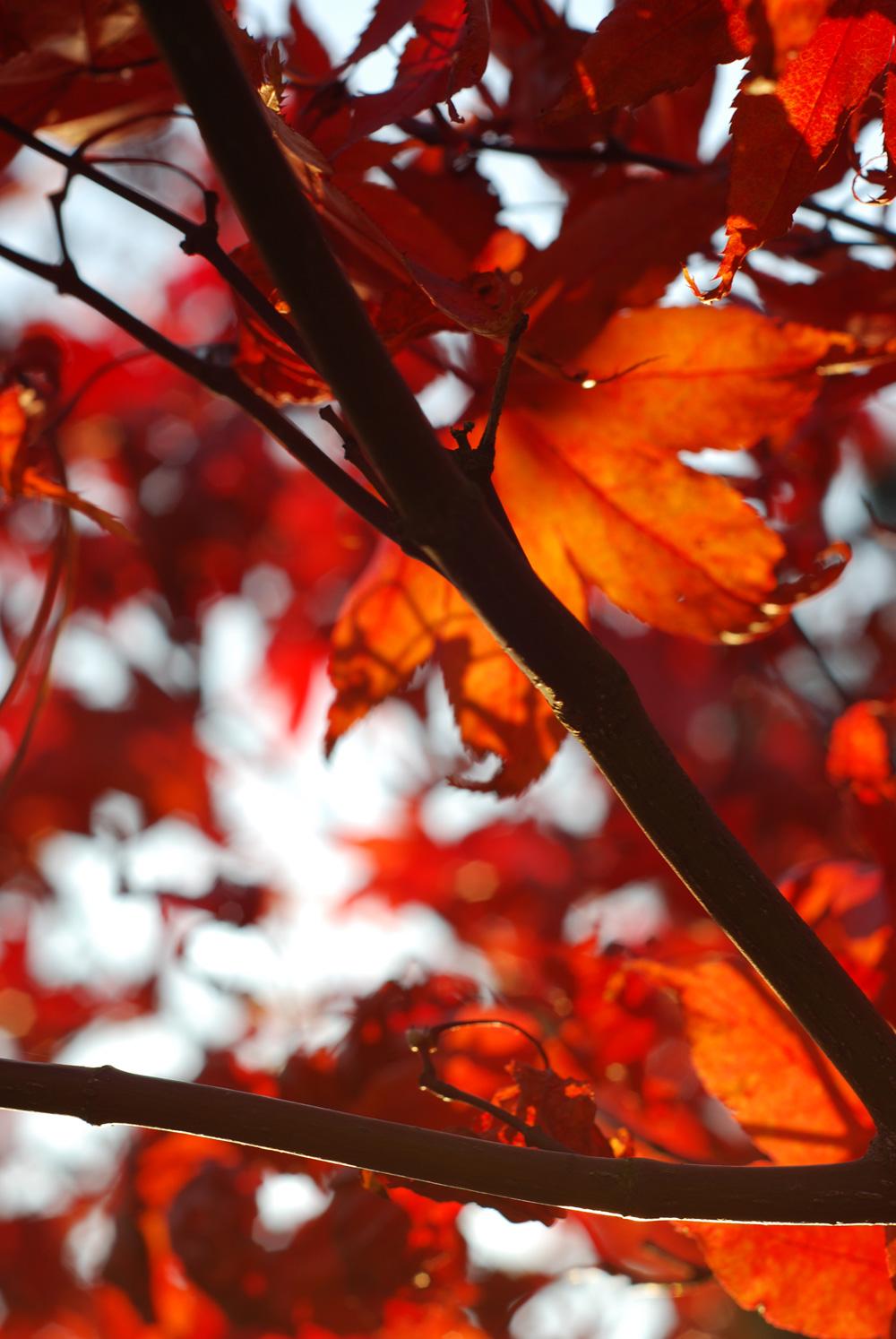 herbstfotos: Die Sonne durchscheint diese roten Blätter