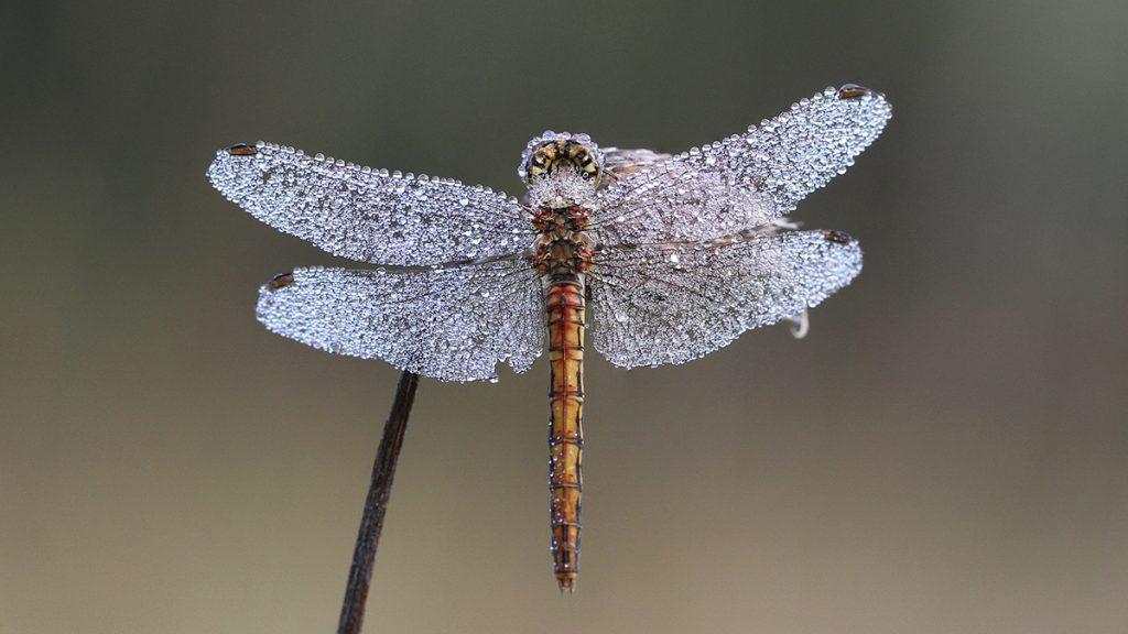 Tipps und Tricks: Libelle mit Tau/Foto: Franz Lechner