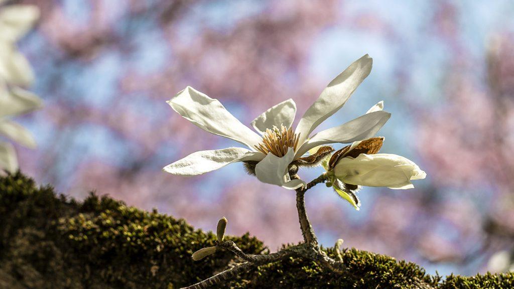 Magnolie von Franz Lechner