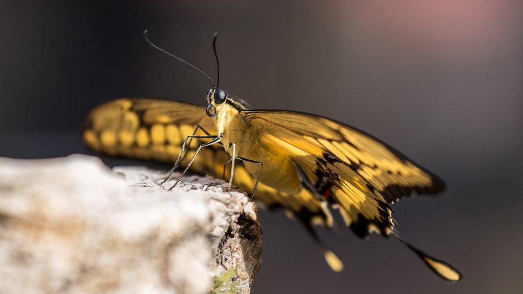 Naturfotografie - Tipps und Tricks: Schwalbenschwanz/Foto: Franz Lechner
